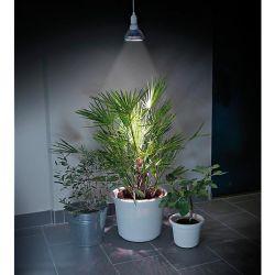 SANTOLINE viridis OLIVIA