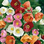 ABUTILON F1 BELLA MIX