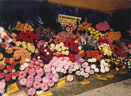 dahlias exposés pépinière
