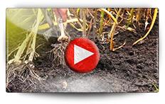 Culture de l' ail - Vidéo BAUMAUX