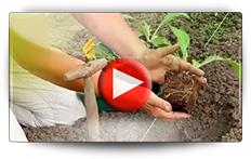 Conseil pour la culture des artichauts - Vidéo BAUMAUX