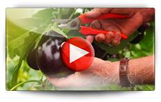 Semis et culture des aubergines… - Vidéo BAUMAUX