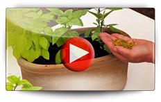 Basilic en ronds pré-semés - Video BAUMAUX