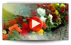 Bégonias et Arums de Nouvelle Zélandes - Vidéo BAUMAUX