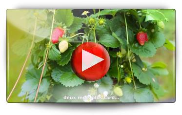 Conseils pour la culture de vos fraises BOMOTTES en tour de fraises ou en pots - Vidéo BAUMAUX