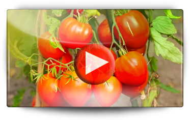 Graines Baumaux vous présente les avantages des plants gréffés, tomates, concombres, aubergines,courgettes, melons, pastèques,potimarrons & courges butternut - Vidéo BAUMAUX