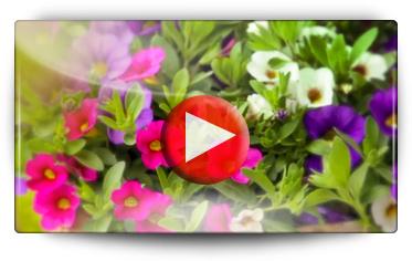 Conseils et mode d'emploi pour la culture des bomottes trixi ou tricolor - Vidéo BAUMAUX