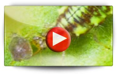 CHRYSOR, l'insecte prédateur des pucerons, cochenilles… - Vidéo BAUMAUX