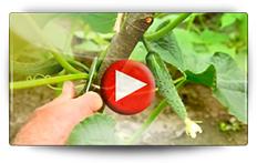 Semis et repiquage des cornichons et des concombres - Vidéo BAUMAUX