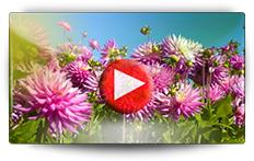 Conseils pour la culture de vos dahlias - Vidéo BAUMAUX