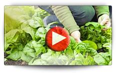 Semis et récolte des épinards - Vidéo BAUMAUX