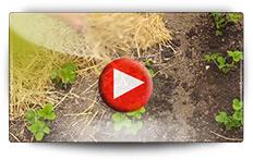 Plantation des fraisiers en pot et paillage - Vidéo BAUMAUX