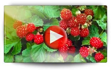 Conseils pour la plantation des framboisiers - Vidéo BAUMAUX