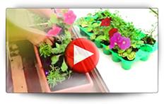Conseils pour vos semis de géranium, pétunia et lobélia - Vidéo BAUMAUX