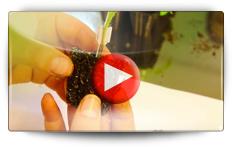 Le greffage des plants de tomates - Video BAUMAUX