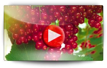 Conseils pour la plantation des groseilliers - Vidéo BAUMAUX