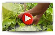 Semis des haricots à rames - Vidéo BAUMAUX