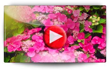 Conseil plantation Arbuste Hydrangea - Vidéo BAUMAUX