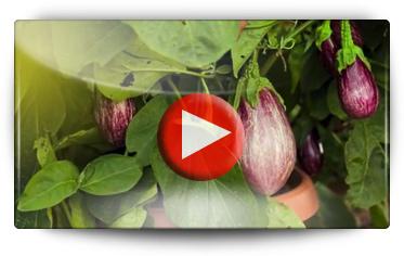 Graines Baumaux visite les jardins d' essais de la firme Volmary : Légumes pour terrasses, balcons & patios - Vidéo BAUMAUX
