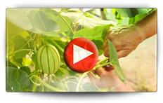 Conseils pour la culture des melons - Vidéo BAUMAUX