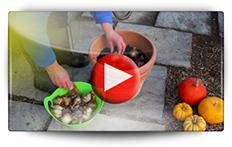 Culture des narcisses en pot - Vidéo BAUMAUX