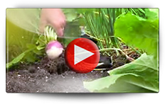Conseils pour les semis de navets - Vidéo BAUMAUX