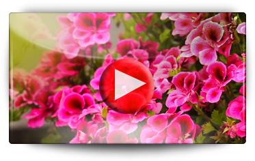 Graines Baumaux visite les jardins d' essais Volmary et vous présente les nouveautés florales issus de boutures - Vidéo BAUMAUX