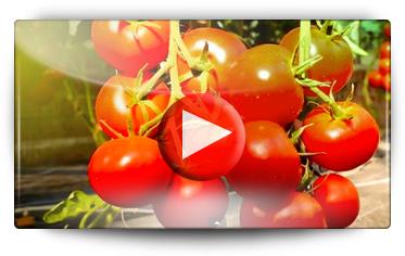 Découvrez les nouvelles variétés Volmary de tomates et de poivrons pour Graines Baumaux - Video BAUMAUX