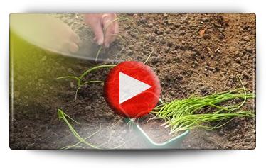 Conseils pour vos semis d'oignons de toutes couleurs - Vidéo BAUMAUX