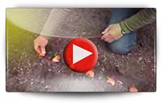 Conseils pour la culture des oignons et échalotes - Vidéo BAUMAUX