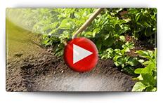 Conseils de culture pour les pommes de terre en pleine terre - Vidéo BAUMAUX