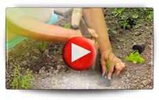 Conseil pour la culture des plantes aromatiques - Vidéo BAUMAUX