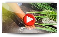 Conseils pour la culture du poireau - Vidéo BAUMAUX