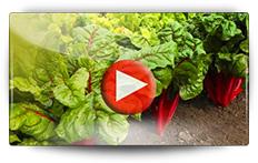 Semis et récolte de poirée - Vidéo BAUMAUX