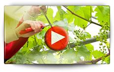 Conseil pour la taille de la vigne - Vidéo BAUMAUX