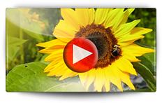 Semis et repiquage des tournesols - Vidéo BAUMAUX