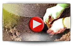 Comment planter vos tubercules potagers, raifort, oca du Pérou, hélianti, topinambour, capucine tubéreuse, poire de terre, patate douce - Vidéo BAUMAUX