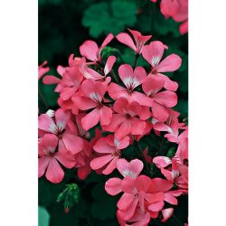 Ciboule Commune Rouge Ou Cive (Allium Fistulosum)