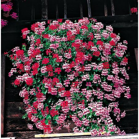 GÉRANIUMS LIERRE VILLE de PARIS 6 plantes ROUGE FEU + 6 plantes ROSE VIF