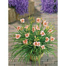 Tulipe Darwin Hybride Van Eijk