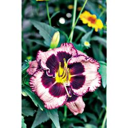 Tulipe Darwin Menton