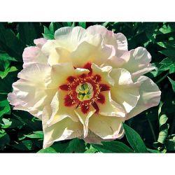 Tulipe Humilis Samantha