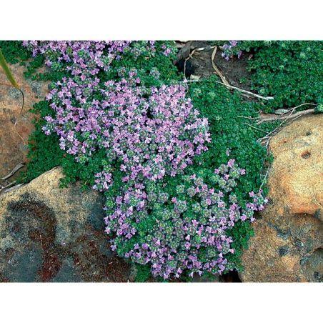 THYM DOUDOU ou laineux (thymus pseudolanguinosus)