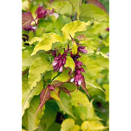 HERBE au CARAMEL ou herbe dorée aux faisans (leycesteria jealousy)