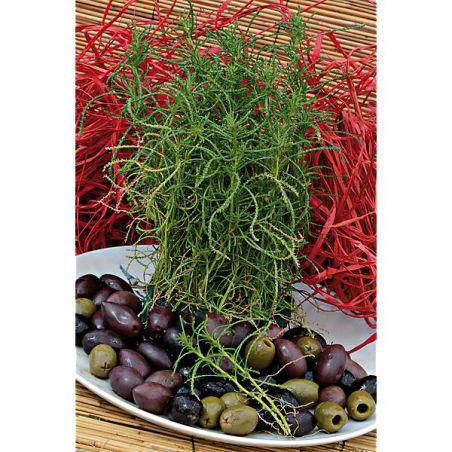 HERBE aux OLIVES (santolina viridis)