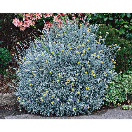 HERBE à CURRY (helichrysum italicum)