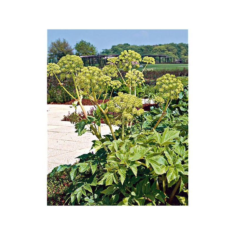 AIL CARINATUM ssp PULCHELLUM