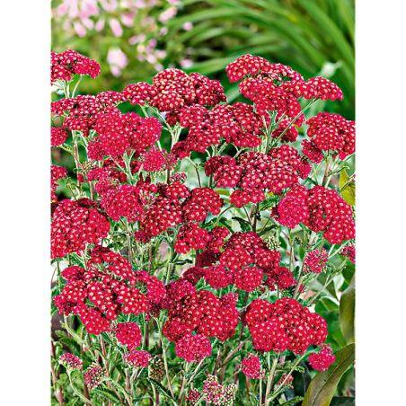 ACHILLÉE PAPRIKA (achillea x millefolium)