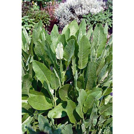 MENTHE COQ (tanacetum balsamita)