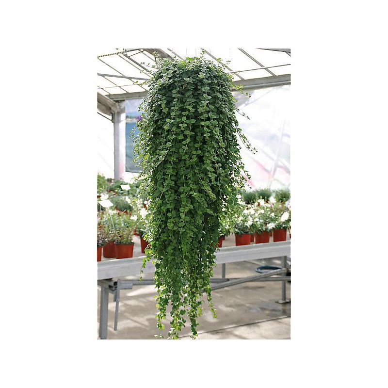 AIL senescens MONTANUM